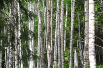 Wald auf Mjältön 1