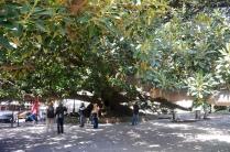 Riesenbaum in einem der vielen Parks