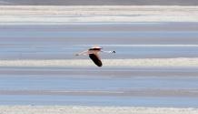 Flamingos,