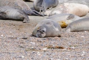 Sie genießen wohl das Leben, diese Seeelefanten