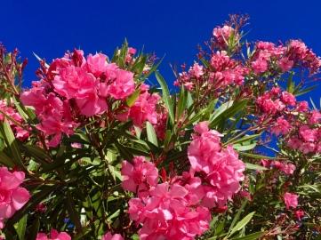 Duftender Oleander