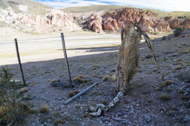 Das Schicksal vieler Guanakos, die am Zaun hängen bleiben
