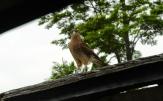 Fast zahmer Raubvogel