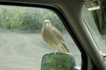 Neugieriger Raubvogel