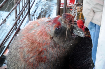 Abgesahnt! Es ist spektakulär mit den Seelöwen auf diesem Fischmarkt!