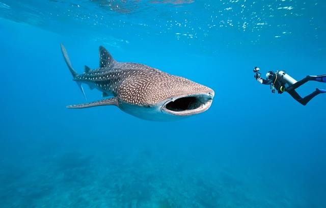 466_main_whale_shark_002