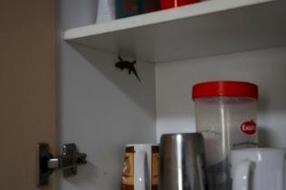 Gecko im Küchenschrank - normal in den Tropen