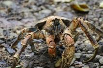 Robber Crabs sind ebenfalls geschützt...