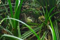 Ein Booby hockt versteckt im grün.