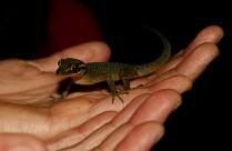 Dieser Giant Gecko kommt auch vorbei.