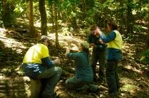 Im Dschungel ziehen wir die mit Wespeneinern infizierten Schildläuse in die Bäume hoch.