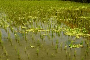 Junges Reisfeld
