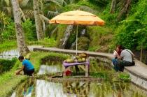 Erfrischung im Reisfeld