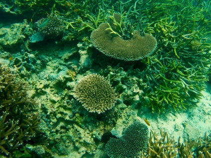 Koralle vor Tioman 1