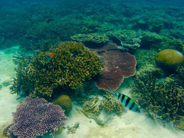 Koralle vor Tioman 3