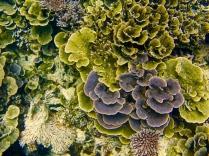 Koralle vor Tioman 2