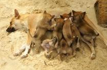 7 Welpen - da hat die Hundemama viel auszuhalten...