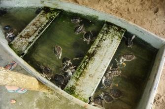Ein Boot voller Schildkröten - viel zu viele auf kleinem Raum.